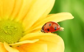 Coccinella porta fortuna fiore